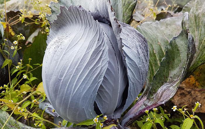 Blaukraut –Rotkraut Tzatziki