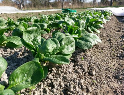 Gemüse und Salat ab Ostern im Frühling