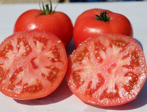 Berner Rosen Tomaten