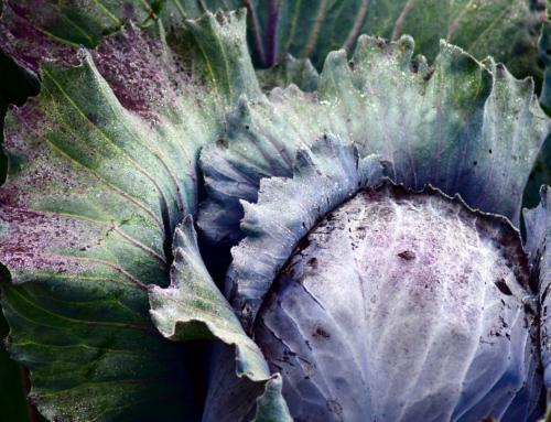 Blaukraut-Tzatziki – das Blaukraut auf griechische Art